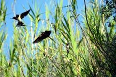 andorinhas Fotografia de Stock