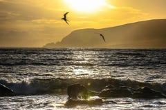 Andorinhas-do-mar árticas em Shetland fotografia de stock royalty free