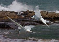 Andorinhas-do-mar árticas no vôo Foto de Stock