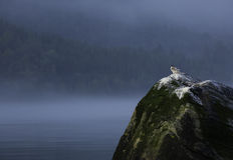 Andorinhas-do-mar árticas novas Fotografia de Stock Royalty Free