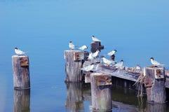 Andorinhas-do-mar Imagens de Stock