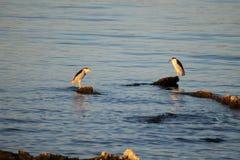 Andorinhas-do-mar Cáspios imagens de stock