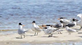 Andorinhas-do-mar Cáspios e gaivota de riso em um sandbar Foto de Stock