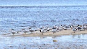 Andorinhas-do-mar Cáspios e gaivota de riso em um sandbar Foto de Stock Royalty Free