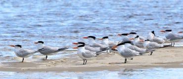 Andorinhas-do-mar Cáspios que estão em um sandbar Fotografia de Stock