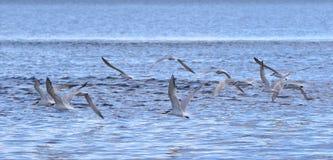 Andorinhas-do-mar Cáspios que voam baixo sobre a água azul de aço Foto de Stock