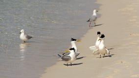 Andorinhas-do-mar com crista Fotos de Stock Royalty Free