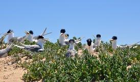 Andorinhas-do-mar com crista da ilha do pinguim Fotografia de Stock Royalty Free