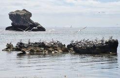 Andorinhas-do-mar com crista na pedra calcária litoral Imagens de Stock Royalty Free