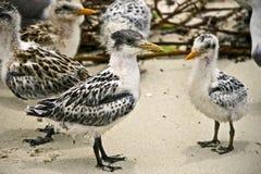 Andorinhas-do-mar do bebê Imagem de Stock Royalty Free