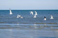 Andorinhas-do-mar e gaivota de riso reais em voo Imagem de Stock