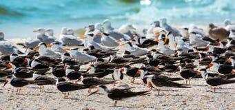 Andorinhas-do-mar e gaivotas na praia Imagem de Stock