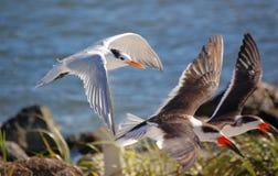 Andorinhas-do-mar e Skimmers reais Fotos de Stock Royalty Free