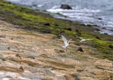 Andorinhas-do-mar que travam a rapina e que voam ao longo da região litoral Imagem de Stock