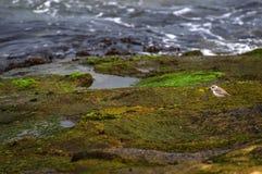 Andorinhas-do-mar que travam a rapina e que voam ao longo da região litoral Fotos de Stock Royalty Free