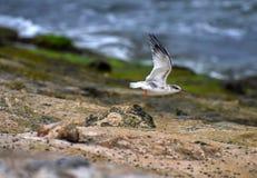 Andorinhas-do-mar que travam a rapina e que voam ao longo da região litoral Imagens de Stock Royalty Free