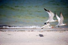Andorinhas-do-mar reais Imagem de Stock Royalty Free