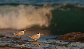 Andorinhas-do-mar reais Imagens de Stock Royalty Free
