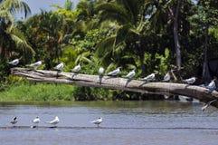 Andorinhas-do-mar reais em um estuário do rio do início de uma sessão - Costa Rica Imagem de Stock