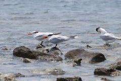 Andorinhas-do-mar reais equilibradas em rochas na água Imagens de Stock