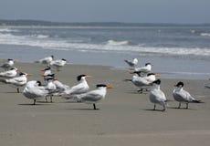 Andorinhas-do-mar reais na praia Fotos de Stock