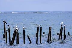 Andorinhas-do-mar reais no parque nacional de Cahuita - Costa Rica Foto de Stock