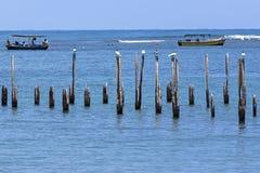 Andorinhas-do-mar reais no parque nacional de Cahuita - Costa Rica Imagens de Stock