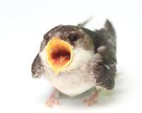 Andorinhas do pintainho com o bico amarelo aberto Foto de Stock Royalty Free