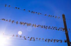 Andorinhas em um fio Fotografia de Stock Royalty Free