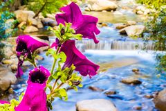 Flowers in the river royalty free stock images