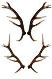 Andouillers de cerfs communs D'isolement sur le blanc Image stock