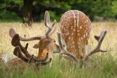 Andouillers des cerfs communs à Londres Image libre de droits