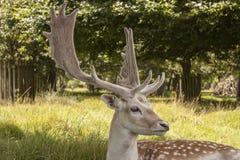 Andouillers sur le mâle affriché chez Dunham Massey, Cheshire images libres de droits
