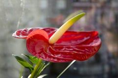 Andraeanum rojo del Anthurium en la floración fotografía de archivo