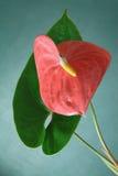 Andraeanum van de anthurium Royalty-vrije Stock Afbeeldingen