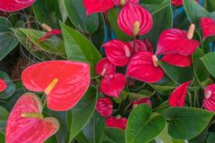 Andraeanum van de Tailfloweranthurium in serre royalty-vrije stock foto