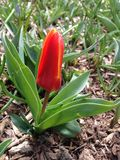 Andre Citroen Tulip Flower Blossoming in Spring at Central Park. Royalty Free Stock Photography