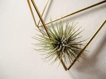 Andreana för Tillandsia för luftväxt bromeliaceae i en guld- hange arkivbild