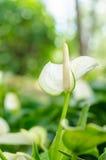 Andreanum d'anthure ou fleur de flamant blanc Image stock