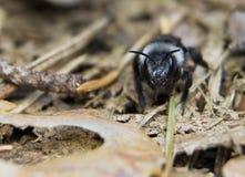 Andrena cineraria Stock Photo
