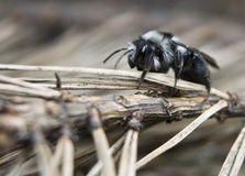 Andrena cineraria Royalty Free Stock Photo