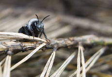 Andrena cineraria Stock Photos