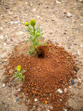 Andrena de tierra de la abeja del hoyo de la entrada Imagen de archivo libre de regalías