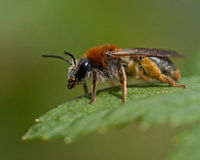 Andrena-haemorrhoa auf Blatt im Makro lizenzfreie stockfotografie