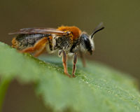 Andrena haemorrhoa on leaf in macro Royalty Free Stock Image