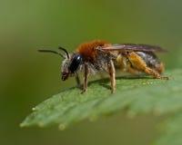 Andrena haemorrhoa på bladet i makro royaltyfri fotografi