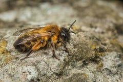 Andrena Mining Bee femminile Immagine Stock Libera da Diritti