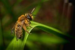 Andrena Mining Bee masculine Image libre de droits