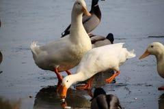 Andrew Stephen Phillips` Duck series 1 stock photo