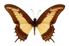 Androgeus de Papilio em um fundo branco imagem de stock